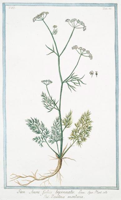 Sion Ammi, foliis tripinnatis = Pepolina montana. [Thyme]
