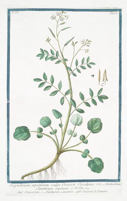 Sisymbrium aquaticum, vulgo Crescion Coesalpino = Nasturtium Aquaticum supinum = Crescione, e Nasturciso aquatico = Cresson de fontaine.[Watercress]