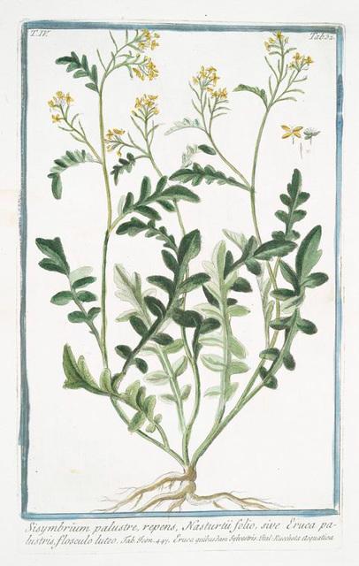 Sisymbrium palustre, repens, Nasturtii folio, sive Eruca palustris, flosculo luteo. [Hedge mustard]