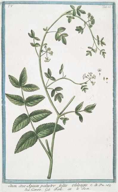 Sium, sive Apium palustre foliis oblongis = Caneo = Berle, ou le Sison. [Water parsnip]