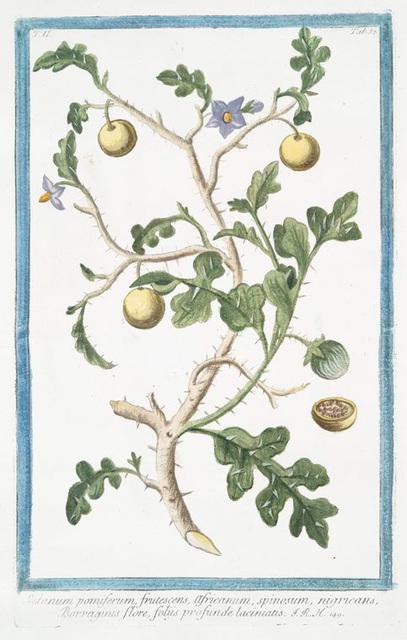 Solanum pomiferum, frutescens, africanum, spinosum, nigricans, Borraganis flore, foliis profunde laciniatis.