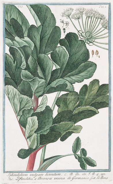 Sphondylium vulgare hirsutum = Sfondilis, e Branca ursina di Germania. [Hairy Cow parsnip]