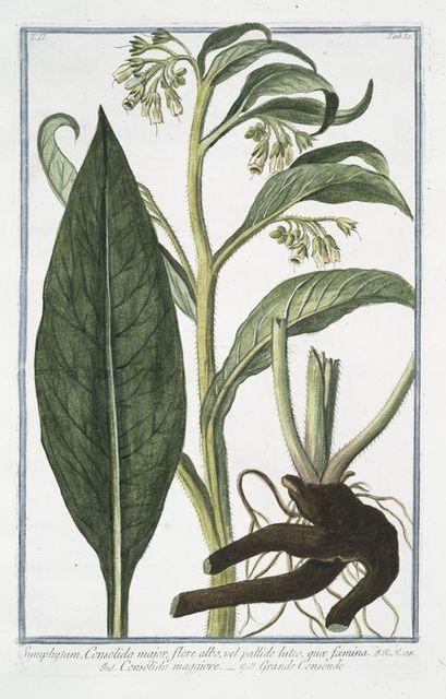 Symphytum, Consolida major, flore albo, vel pallide luteo, quaæ foemina = Consolida maggiore = Grande Consoude. [Common Comfrey]