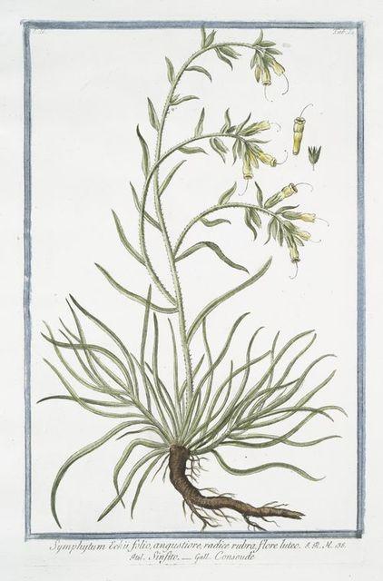 Symphytum Echii folio, angustiore, radice rubra, flore luteo = Sinfito = Consoude.