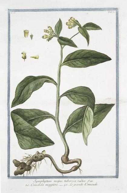 Symphytum majus, tuberosa radice = Consolida maggiore = Le Grande Consoude. [Common Comfrey]