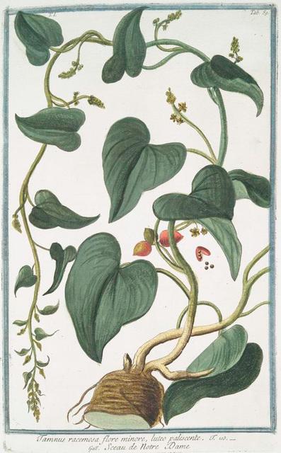 Tamnus racemosa flore minore, luteo palescente = Sceau de Notre Dame.