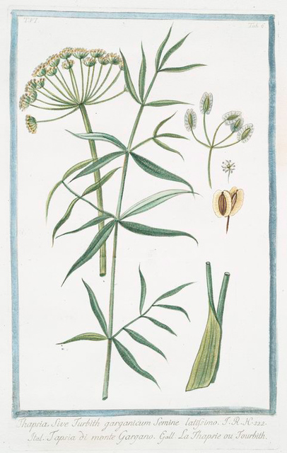 Thapsia, sive Turbith garganicum semine latissimo = Tapsia di Gargano = La Thapsie ou Tourbith. [Drias]