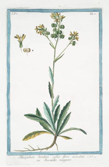 Thlaspidium hirsutum calice floris auriculato =Biscutella maggiore. [Hairy pennycress]