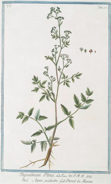 Thysselinum Plinii = Appio palustre = Piersil de Marais. [Marsh parsley]