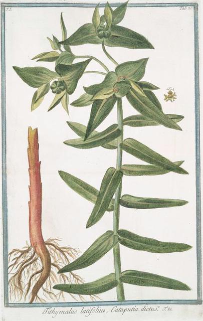 Tithymalus latifolius, Cataputiia dictus.