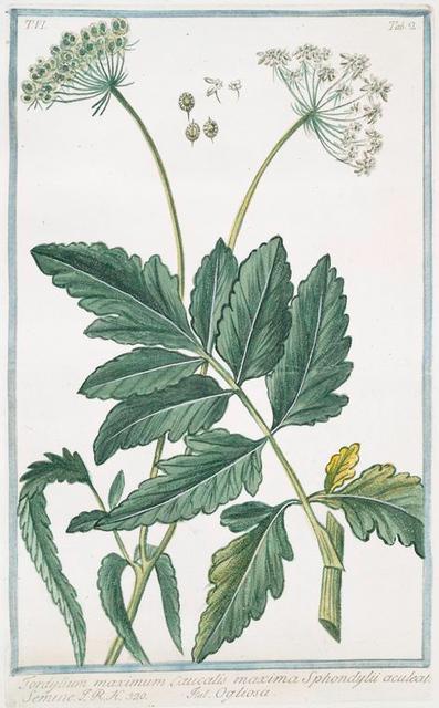 Tordylium maximum Caucalis maxima  Sphondylii aculeato Semine = Ogliosa. [Hartwort]