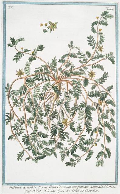 Tribulus terrestris ciceris folio Seminum intefgumento aculeato = Tribolo terrestre = La Croix de Chevalier. [Small Caltrops, Puncture Wine]