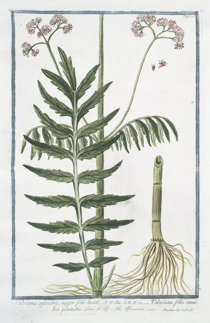 Valeriana sylvestris, major folio lucido = Valeriana foliis omnibus pinnatis.