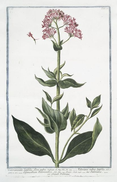 Valerianoides latifolia, flore rubro = Valeriana rubra, latifolia = Ocymastrum Valerianthos = Valeriana = Grande Valeriane.
