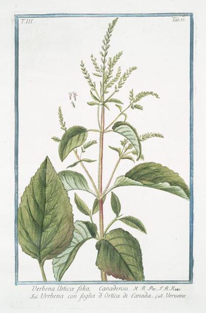 Verbena Urticæ folia, Canadensis = Verbena con foglia d' Ortica di Canada = Verveine.