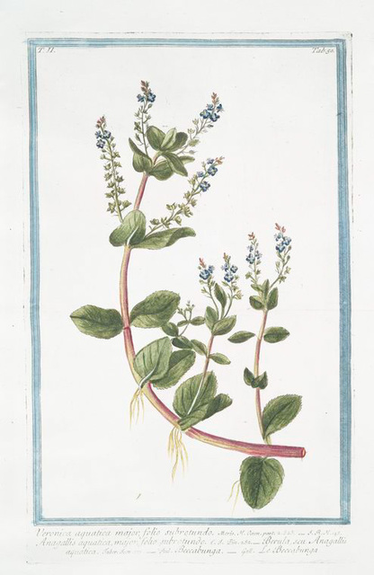 Veronica aquatica major, folio subrotundo = Anagallis aquatica major, folio subrotundo = Berula, seu Anagallie aquatica = Beccabunga = Le Beccabunga. [Water Speedwell or Brooklime]