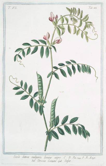 Vicia sativa,  vulgaris semine nigro = Veccia comune = Vesse. [common vetch; winter tares; spring vetch]