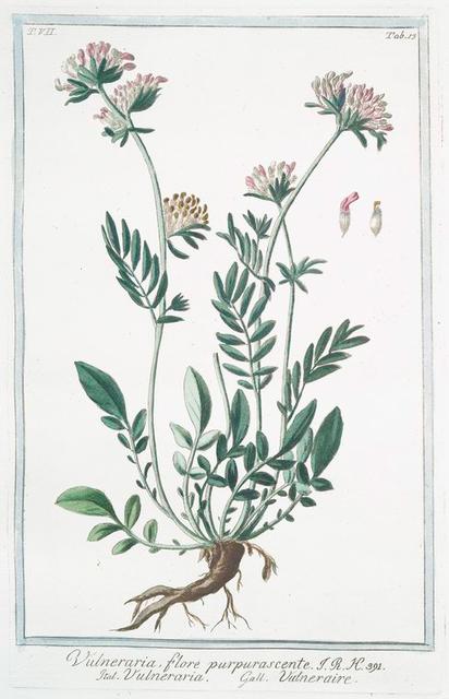 Vulneraria, flore ppurpurascente = Vulneraria = Vulneraire. [Kidney vetch]