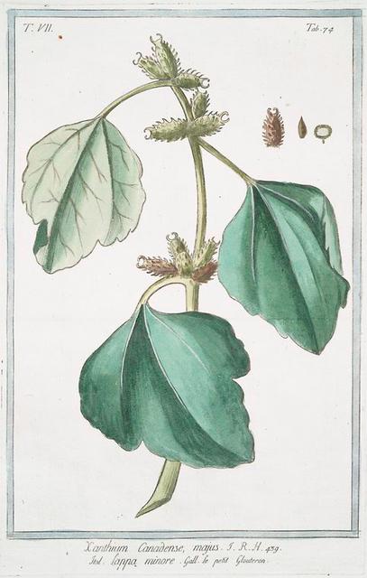 Xanthium Canadense, majus = Lappa minore = Le petit Gloutron.. [Canada cockleburr]