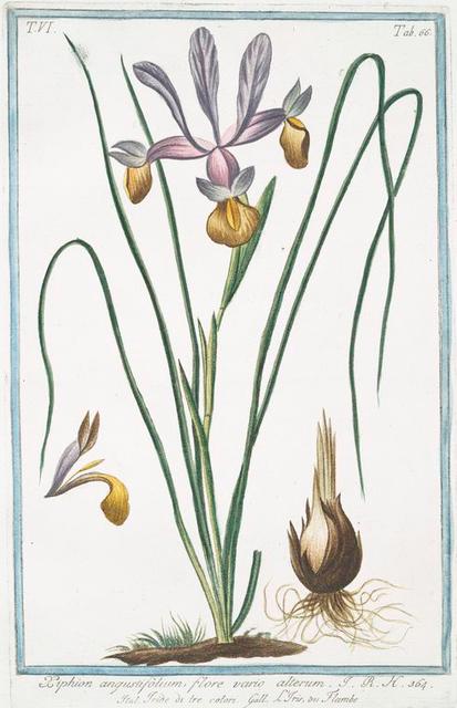 Xiphion angustifolium, flore vario alterum = Tride di tre colori = L'Iris, ou Flambe. [Iris]