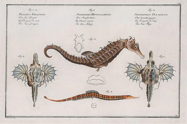 1. 2. Pegasus Draconis, The Sea Dragon;  3. Syngnathus Hippocampus, The Sea-Horse; 4. Syngnathus Pelagicus, The Sea-Pipe.