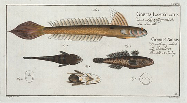 1. 4. Gobius Lanceolatus, The Lancet-Goby; 2. 3. Gobius Niger, The Black Goby.