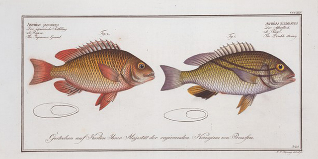 1. Anthias bilineatus, The Double string; 2. Anthias japonicus, The Japanese Grunt.
