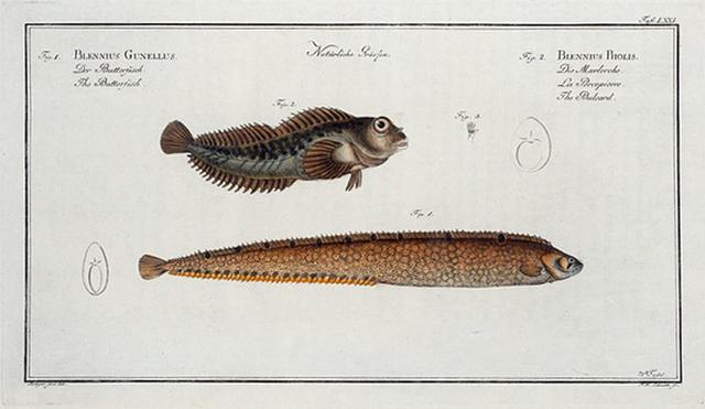1. Blennius Gunellus, The Butterfish; 2. Blennius Pholis, The Bulcard.