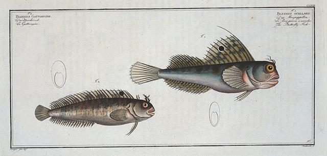 1. Blennius ocellaris, The Butterfly-fish; 2.  Blennius Gattorugine.
