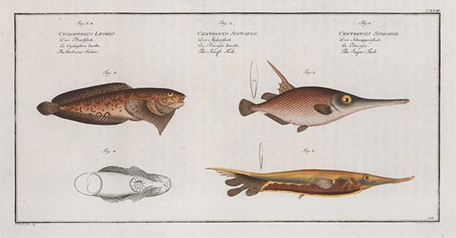 1. Centriscus Scolopax, The Snipe-Fish; 2. Centriscus Scutatus, The Knife Fish; 3. 4. Cyclopterus Liparis, The Unctuous Sucker.