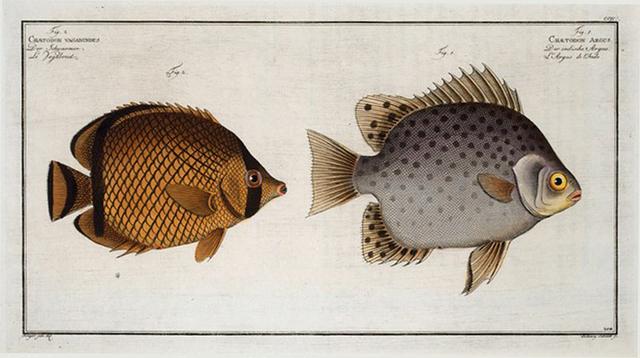 1. Chaetodon Argus; 2. Chaetodon vagabundus.