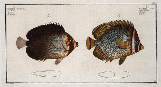 1. Chaetodon Collare, The Collar; 2. Chaetodon mesoleucus, The Mulatto.
