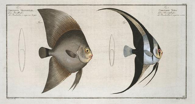 1. Chaetodon Teira; 2. Chaetodon Vespertilio.
