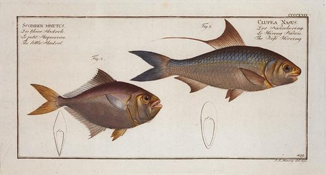 1. Clupea Nasus, The Nose-Herring; 2. Scomber minutus, The little Mackrel.