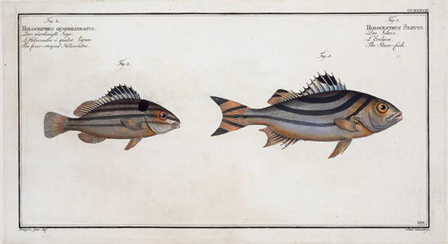 1. Holocentrus Servus, The Slave-fish; 2. Holocentrus quadrilineatus, The four-striped Holocentre.