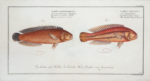 1. Labrus bivittatus, The double-Striped Wrasse; 2. Labrus macrolepidotus, The great-Scaled Wrasse.