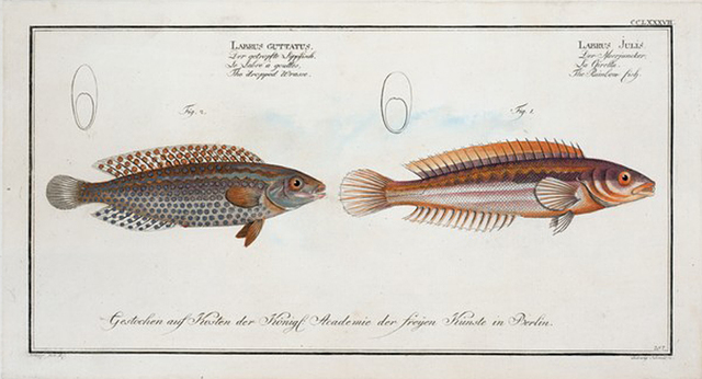 1. Labrus Julis, The Rainbow-fish; 2. Labrus Guttatus, The dropped Wrasse.