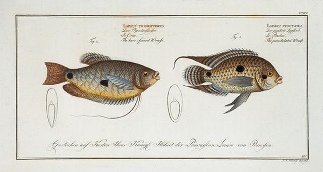 1. Labrus punctatus, The punctulated Wrasse; 2. Labrus trichonterus, The hair-finned Wrasse.