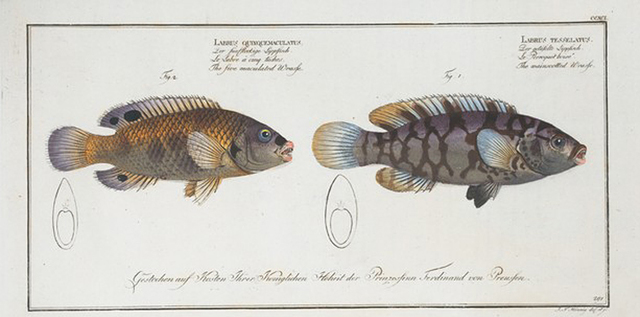 1. Labrus tesselatus, The wainscotted Wrasse; 2. Labrus quinquemaculatus,The five maculated Wrasse.