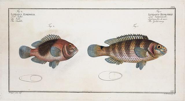 1. Lutjanus Rupestris, The Goldsinny; 2. Lutjanus Ephippium,  The Saddle.
