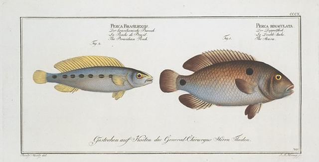 1. Perca bimaculata, The Acara; 2. Perca Brasiliensis, The Brasilian Perch.
