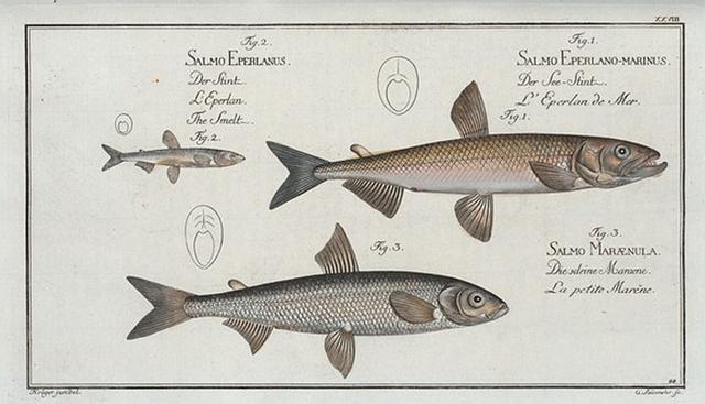 1. Salmo Eperlano-marinus, The Smelt; 2. Salmo Eperlanus, The Lesser Smelt; 3. Salmo Marænula, The Small Maræne.