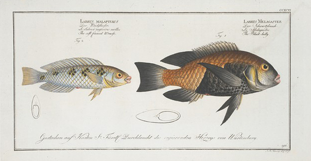 1.Labrus Melagaster, The Black-belly; 2. Labrus malapterus, The soft finned Wrasse.