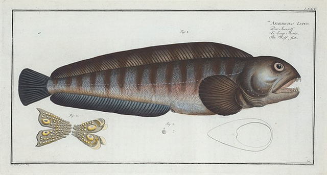 Anarihchas [Anarhichas] Lupus, The Wolf Fish.