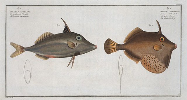 Balistes Tomentosus, The Little Old-Wife; 2. Balistes biaculeatus.
