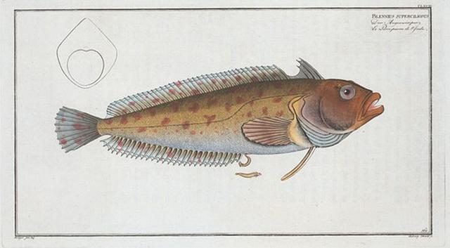 Blennius superciliosus.
