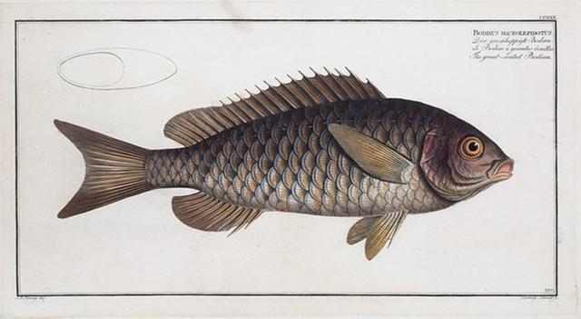 Bodinus [Bodianus] macrolepidotus, The great-scaled Bodian.