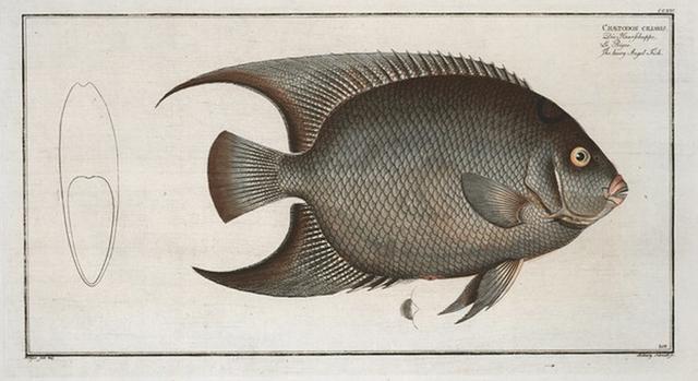 Chaetodon ciliaris, The Hairy Angel-Fish.