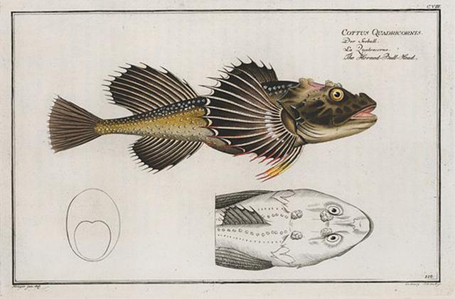 Cottus Quadricornis, The Horned Bull-Head.