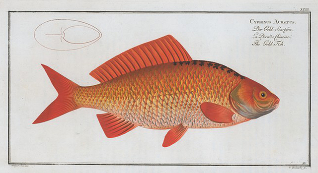 Cyprinus Auratus, The Gold-Fish.